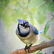 Bluejay In A Tree Poster