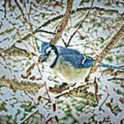Bluejay In Birches Poster