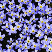 Bluets In Shade Poster
