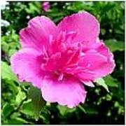 Blushingly Pink Poster