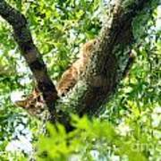 Bobcat In Tree Poster