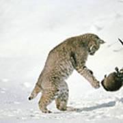Bobcat Lynx Rufus Hunting Muskrat Poster by Michael Quinton