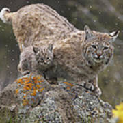 Bobcat Mother And Kitten In Snowfall Poster by Tim Fitzharris