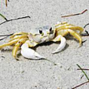 Boca Grande Crab Poster