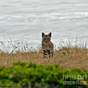 Bodega Bay Bobcat Poster by Mitch Shindelbower