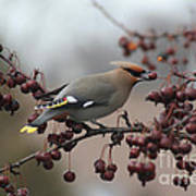 Bohemian Waxwing Poster by Chris Hill