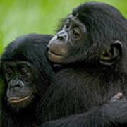 Bonobo Orphans Hugging Poster