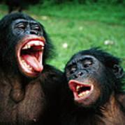 Bonobo Pan Paniscus Juvenile Pair Poster