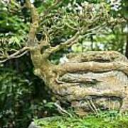 Bonsai Root And Stone Poster