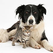 Border Collie And Kitten Poster