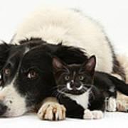 Border Collie And Tuxedo Kitten Poster