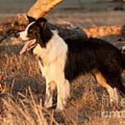 Border Collie At Sunset Poster