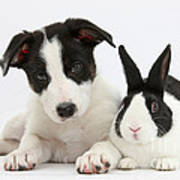 Border Collie Pup And Dutch Rabbit Poster