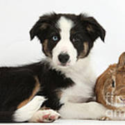 Border Collie Pup And Netherland-cross Poster