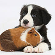 Border Collie Pup And Tricolor Guinea Poster