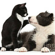 Border Collie Pup And Tuxedo Kitten Poster