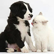 Border Collie Pup And White Kitten Poster