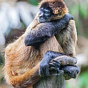 bored Spider Monkey Poster