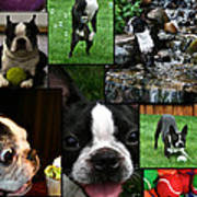 Boston Terrier Photo Collage Poster