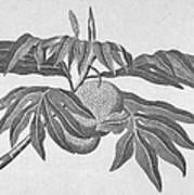 Botany: Breadfruit Tree Poster
