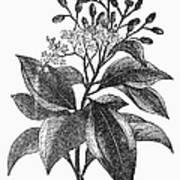 Botany: Cinnamon Tree Poster