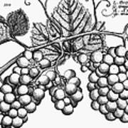 Botany: Grapes Poster by Granger