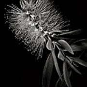 Bottlebrush In Black And White Poster