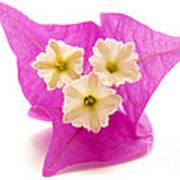 Bougainvillea Flower Poster