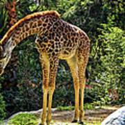 Bowing Giraffe Poster by Mariola Bitner