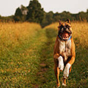 Boxer Dog Running Happily Through Field Poster by Stephanie McDowell