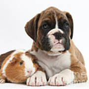 Boxer Puppy And Guinea Pig Poster
