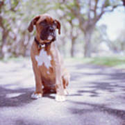 Boxer Puppy Poster by Diyosa Carter