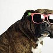 Boxer Wearing Sunglasses Poster