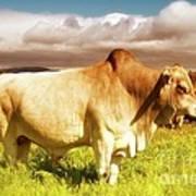 Brahma Bull And Harem Poster by Gus McCrea