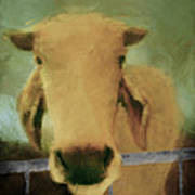 Brahma Cow Greeting Poster