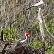 Brazillian Cardinals Poster