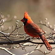Bright Bold - Cardinal Poster
