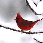 Bright In The Snow - Cardinal Poster