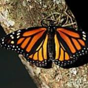Bright Orange Monarch Butterfly Poster