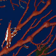 Bright Red Crab On Fan Coral, Papua New Poster