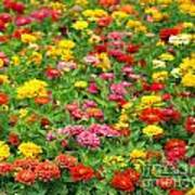 Brightly Colored Marigold Flowers Poster
