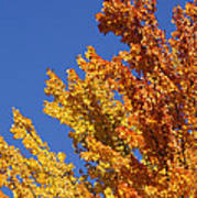Brilliant Fall Color And Deep Blue Sky Poster