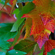 Brilliant Red Maple Leaves Poster