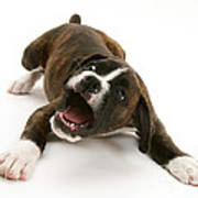 Brindle Boxer Pup Poster