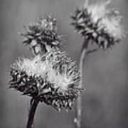 Bristle Thistle In Black And White Poster