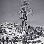 Bristlecone Pine - High Sierra Poster