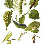 British Butterfly Larvae, 1897 Poster