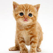 British Shorthair Red Tabby Kitten Poster