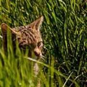 British Wild Cat Poster