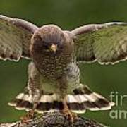 Broad Winged Hawk Poster